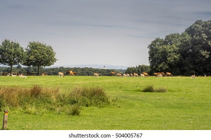 Fallow deer at Tatton Park, Knutsford, Cheshire, UK