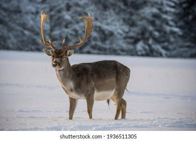 Fallow deer in winter landscape.
