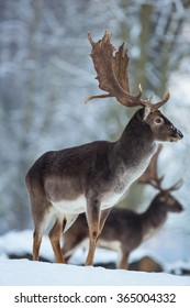 Fallow deer in winter with snowy trees in the background.
