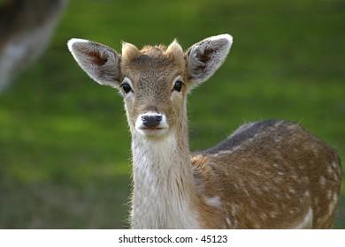 Fallow Deer - Young Buck