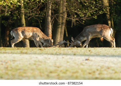 Fallow Deers fighting