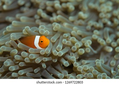 False clown anemonefish (Amphiprion ocellaris) in the tentacles of its host anemone