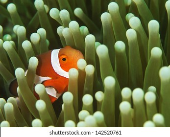 False clown Anemonefish, Orange-Ringel Anemonenfisch (Amphiprion ocellaris)