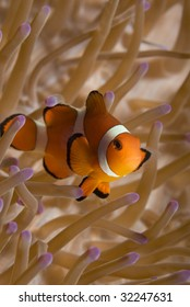 A False Clown Fish (Amphiprion ocellaris) in it's home anemone (Heteractis magnifica) in the oceans of the Philippines.