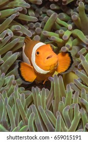 False clownfish (Amphibrion percula) in green anemone