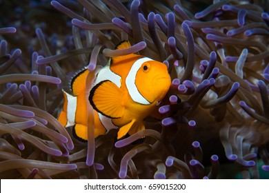False clownfish (Amphibrion percula) in purple anemone