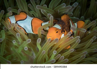 A False clown-fish (Amphiprion ocellaris) is hiding inside anemone with a common clownfish. Kimbe Bay, Papua New Guinea