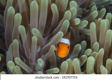A False clownfish (Amphiprion ocellaris) peers out from the protective tentacles of its host anemone on a coral reef in Indonesia.