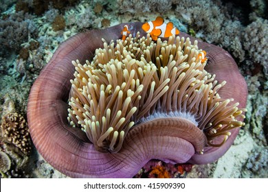 False clownfish (Amphiprion ocellaris) swim among the tentacles of their colorful host anemone on a coral reef in Raja Ampat, Indonesia.