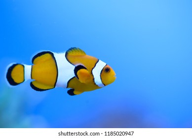 The false clownfish (Amphiprion ocellaris), swims in front of a blue background, in a marine aquarium.