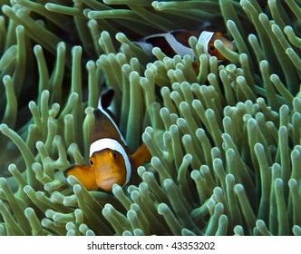 False clownfish in anemone on coral reef