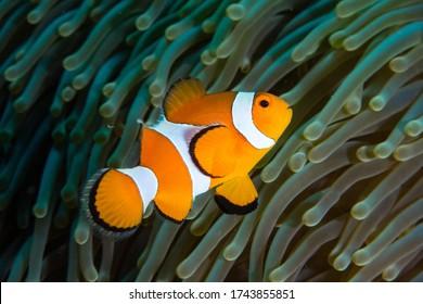 False Clownfish in his anemone.