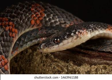 False coral snake (Oxyrhopus petola)
