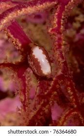 False Cowry (Simnia spelta) feeding on gorgonian (Leptogorgia sarmentosa) in Portimao, Algarve, Portugal
