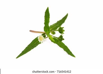 False daisy, White head, Yerba De Tajo herb, Thai herbs have medicinal properties.