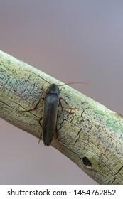 False Darkling Beetle - Serropalpus barbatus