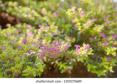 False Heather or Elfin Herb background. Cuphea hyssopifolia Kunth with sunlight. Flowers and young shoots used to boil and drink, cure phlegm disease Planted as a fence and decorated. Select focus sha