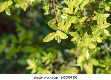 False Heather or Elfin Herb background. Cuphea hyssopifolia Kunth with sunlight and copy space. Flowers and young shoots used to boil and drink, cure phlegm disease Planted as a fence and decorated.
