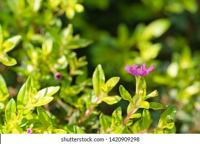 False Heather or Elfin Herb with blurred background. Cuphea hyssopifolia Kunth with sunlight. Flowers and young shoots used to boil and drink, cure phlegm disease Planted as a fence and decorated.