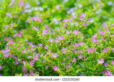 False heather, Elfin herb or Cuphea hyssopifola flowers. Macro, selective soft focus