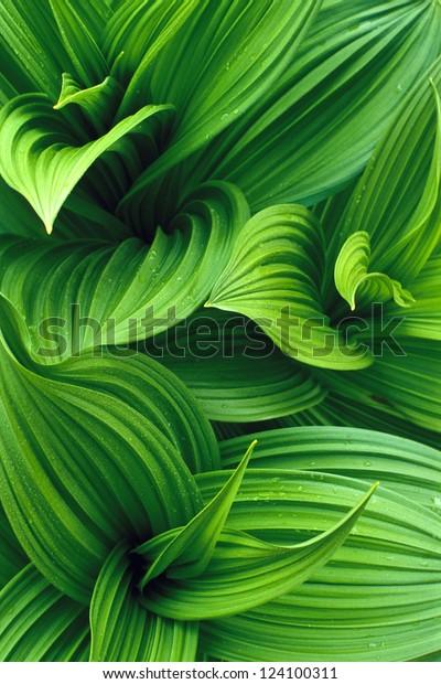 False Hellebore Leaves