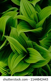 False Helleborine in spring