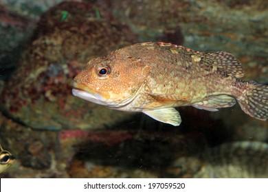 False kelpfish or Marbled rockfish (Sebastiscus marmoratus) in Japan
