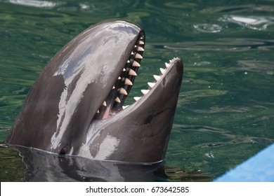 False killer whale, the fourth-largest dolphin, a member of Delphinidae, the oceanic dolphin family.
