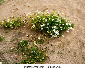 False mayweed growing in sand on a beach
