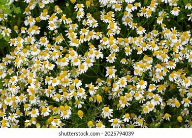 False mayweed or Sea mayseed (Tripleurospermum maritimum), flowering