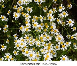 False mayweed or Sea mayweed (Tripleurospermum maritimum), flowering