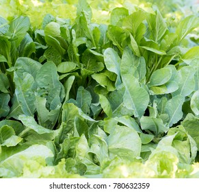 False pakchoi and Chinese Kale Vegetable gardening