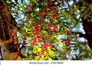 false pepper tree