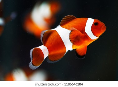 False percala clownfish or Ocellaris clownfish (Amphiprion ocellaris)