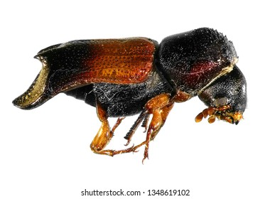 False powder-post beetle (Coleoptera: Bostrychidae) isolated on a white background