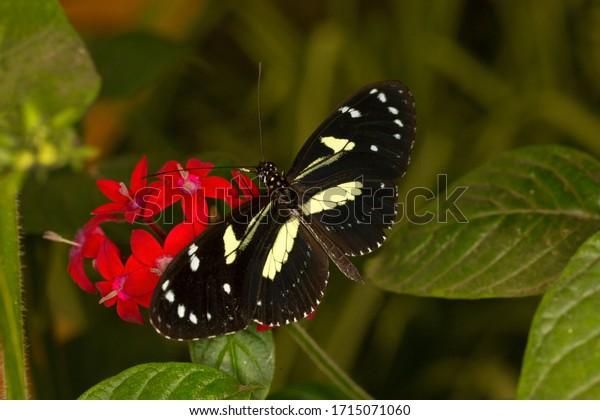 Bộ sưu tập cánh vẩy 4 - Page 46 False-zebra-longwing-atthis-heliconius-600w-1715071060
