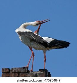 Famili of White storks (Ciconia ciconia)