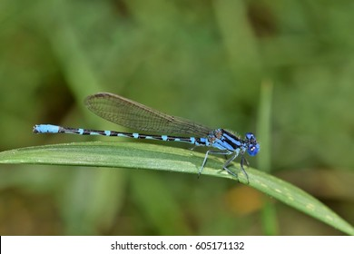 Familiar Bluet damselfly (Enallagma civile) that was flitting around the tall grasses on a hot afternoon near a small Texas waterway in Houston.