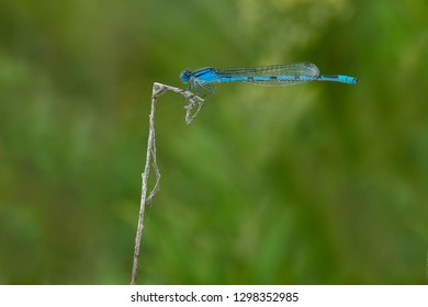 Familiar Bluet Damselfly perched on a dead twig. Colonel Samuel Smith Park, Toronto, Ontario, Canada.