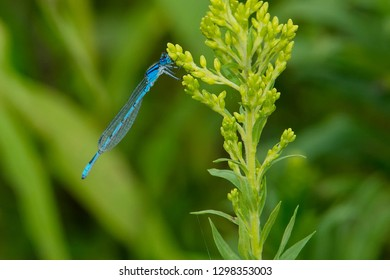 Familiar Bluet Damselfly perched on a goldenrod flower bud. Colonel Samuel Smith Park, Toronto, Ontario, Canada.