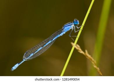 Familiar Bluet (Enallagma civile) damselfly male Marion, Illinois, USA.