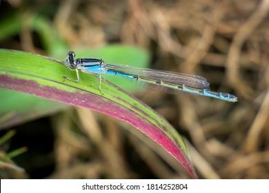 A Familiar Bluet (Enallagma civile) perched on a leaf.