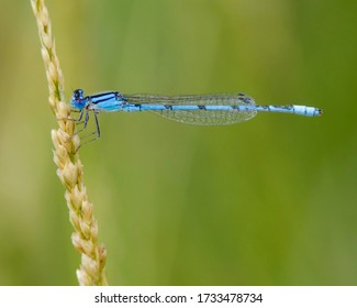 Familiar Bluet perched on vegetation above a pond in West Texas.