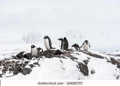 Families of Gentoo Penguins near Vernadsky Station, Antarctica