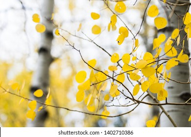 Families of quaking aspens with vibrant yellow leaves in Alpine Loop, Wasatch Mountains, Utah, USA