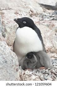 Family Adelie penguins (Pygoscelis adeliae).