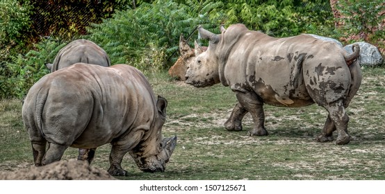 A family of adult African white rhinos (or square-lipped rhinoceros), the largest and most social of all rhino species.