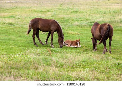 family from an adult horse and a small foal while grazing in a clearing with green grass, summer