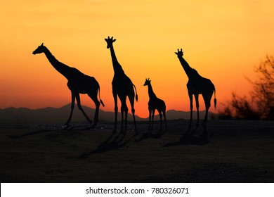Family of African Giraffes silhouette at sunset on open plains