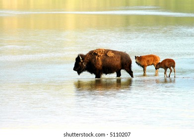 A family of American bison cross a shallow North Dakota river.